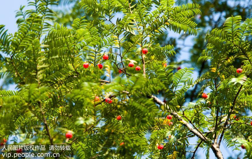 红豆杉真的能抗癌吗?误食小心中毒